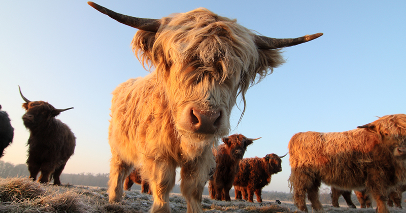 Difference between highland cows and other cows