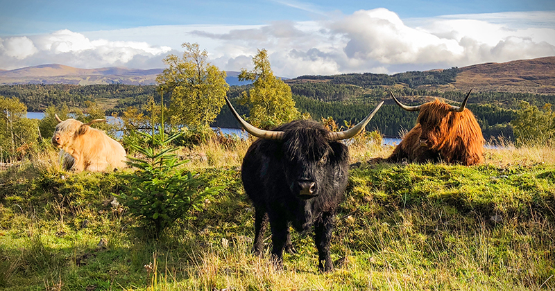 Why are highland cows ginger?