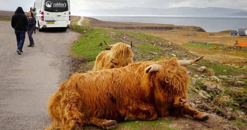 Are highland cows friendly to humans?