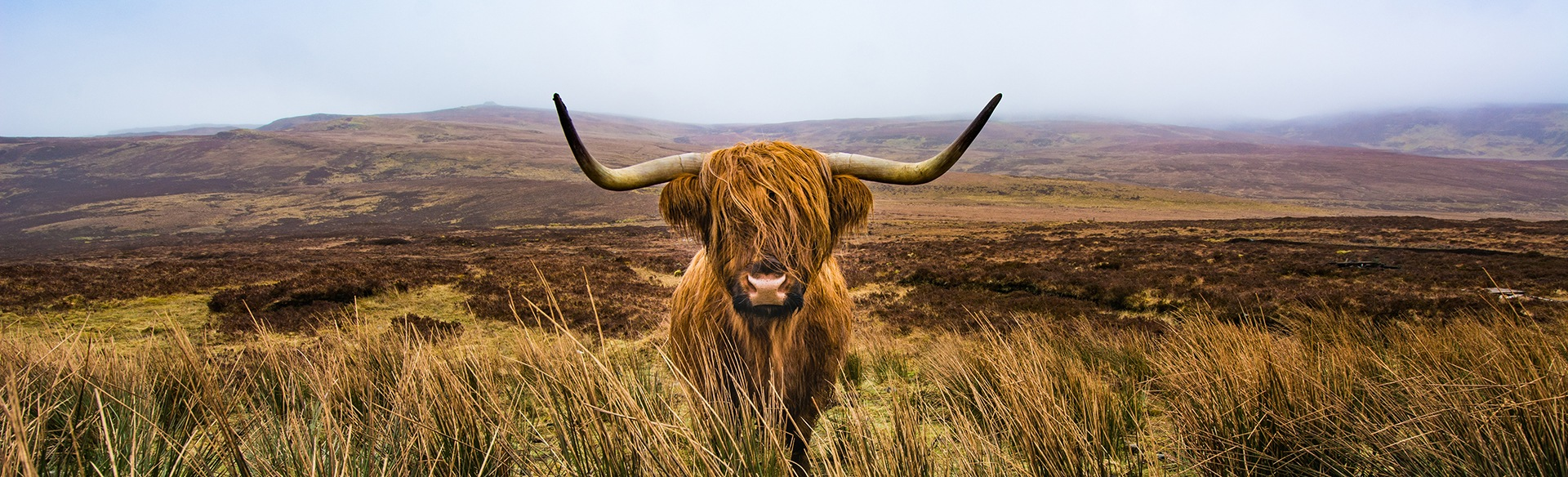 The Highland Cow - More Than Just a Hairy Face | Rabbie's Travelfeels
