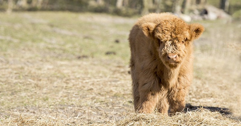 Can you milk highland cows?