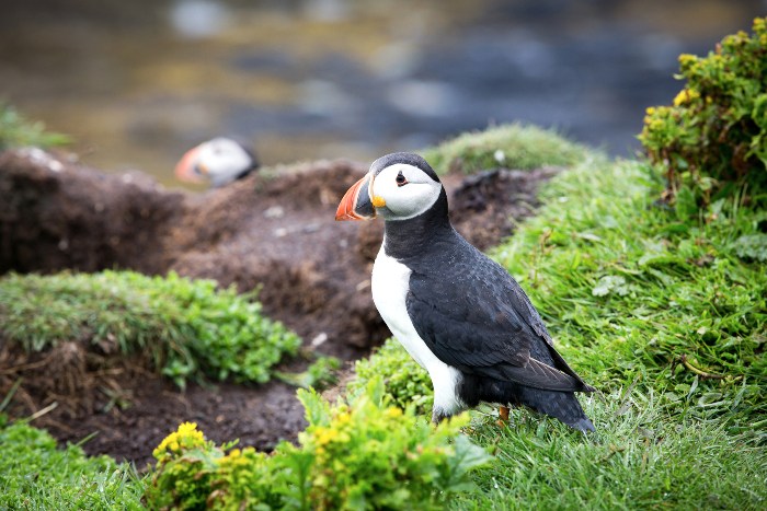 Puffins on Isle of Mull