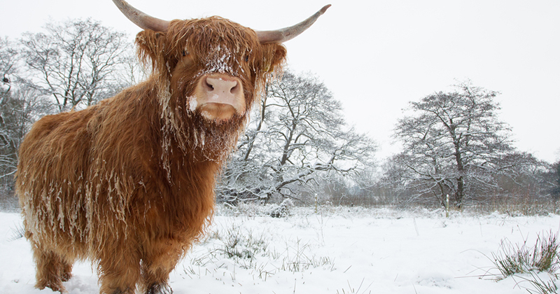 Do highland cows stay outside all winter?