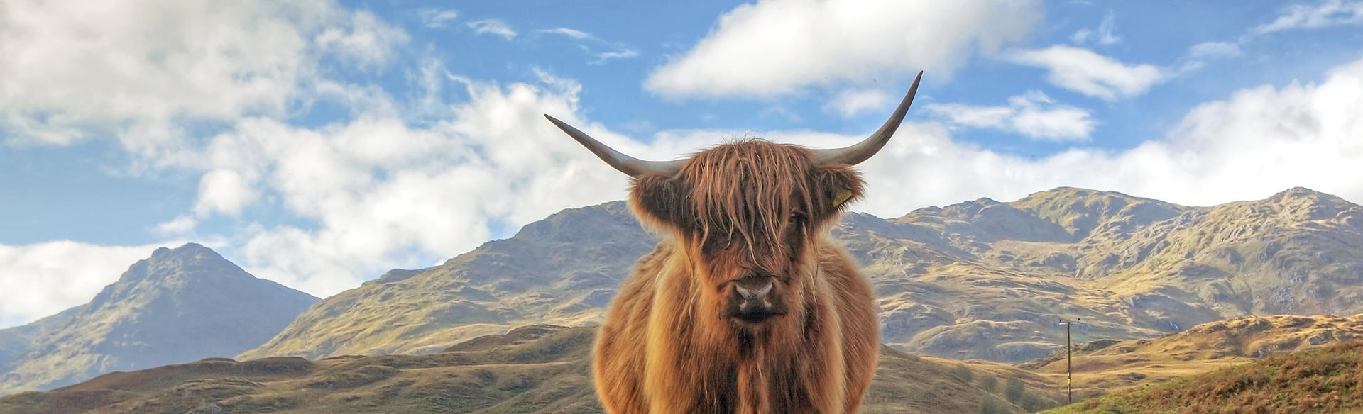 cow trossachs
