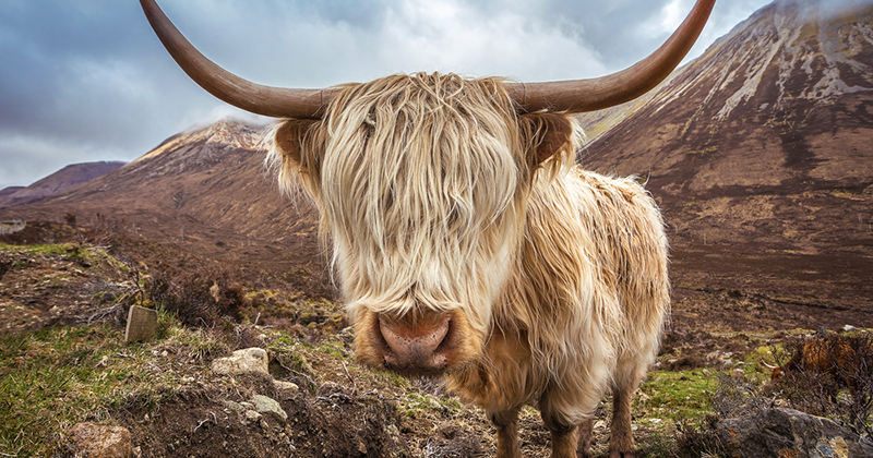 All you need to know about Highland cows